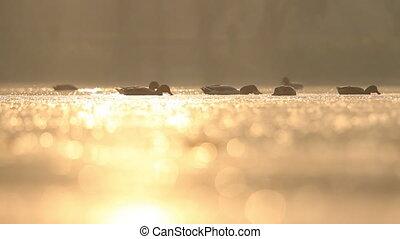 wild birds swim on the lake in the morning sun