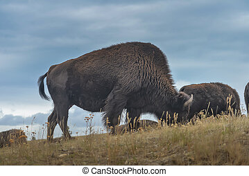 Wild Bison in the park