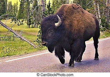 Wild bison in Yellowstone national