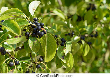 Wild black berry fruit growing outside naturally on a bush in the countryside