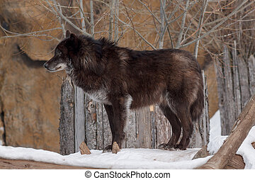 Wild black canadian wolf.