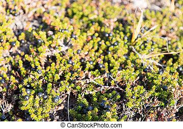 Wild black crowberries on Empetrum nigrum bush in Greenland