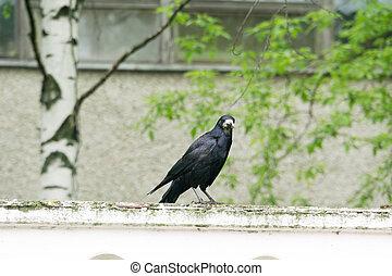 Wild Black Raven