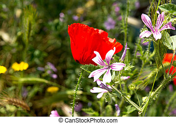 Wild blooming flowers with red poppies