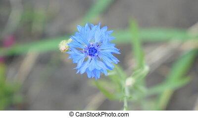 Wild blue flower cornflower on natural background.