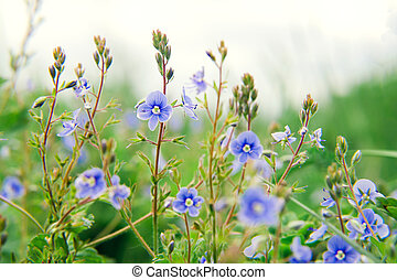 Wild blue flowers on a meadow in summer close-up