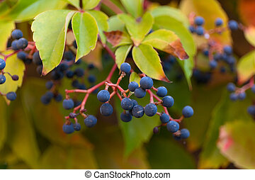 Wild blue grapes background. Parthenocissus quinquefolia. Macro background.