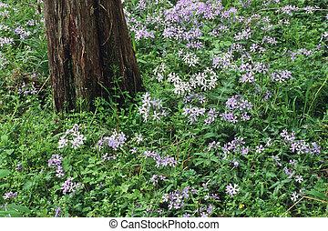 Phlox - Wild Blue Phlox (Phlox divaricata) in the Great ...