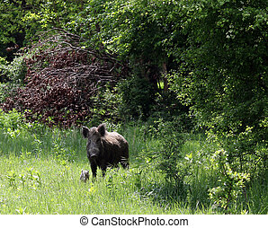 wild boar and pig in forest