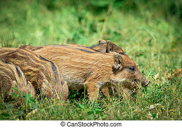wild boar baby in the forest