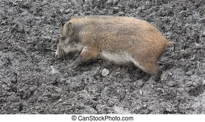Wild boar baby searching for food in the mud