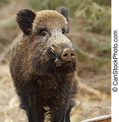 Wild boar close up - Wild boar in a Bavarian forest