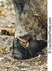Wild boar (Sus scrofa) in national park 'Het Aardhuis' at the 'Hoge Veluwe' in the Netherlands