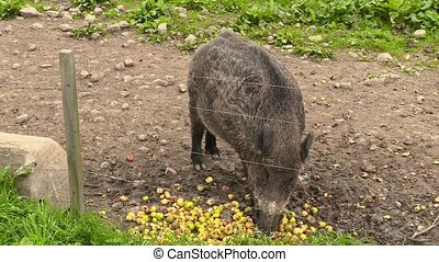 Wild boar eating apples