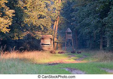 Wild boar herd in forest - Group of wild boars walking in...