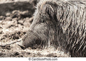 wild boar in a park on the nature