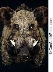 wild boar in black background
