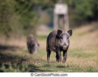 Wild boar in forest - Two wild boars (sus scrofa ferus)...