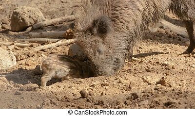 Wild boar in forest - Wild boar and offspring searching for...