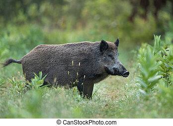 Wild boar in forest - Wild boar (sus scrofa ferus) standing ...