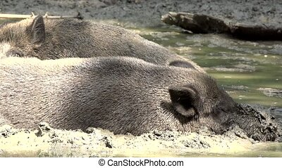 wild boar in the dirt