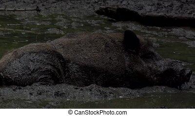 wild boar in the dirt