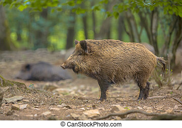 Wild Boar (Sus scrofa) side view in a natural forest habitat