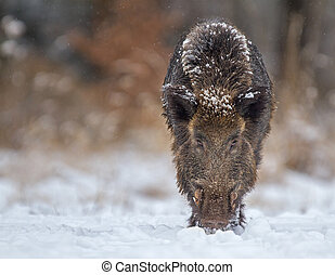 Wild boar looking down the barrel ready to charge