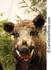 wild boar of collini of Tuscany in italy - grin and pointed...