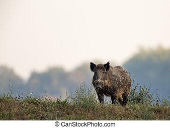 Wild boar on meadow - Wild boar (sus scrofa ferus) standing...