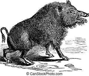 Wild boar or Sus scrofa vintage engraving - Wild boar or Sus...