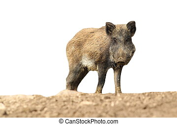 wild boar over white - young wild boar isolated over white...