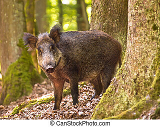 Wild boar (Sus scrofa) looking in the camera from the forest