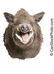 Wild boar head mount isolated on white