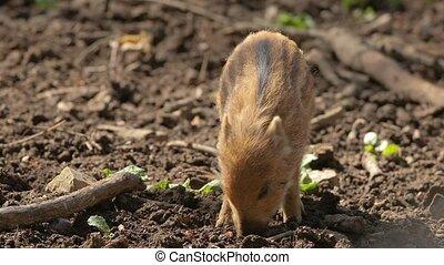 Wild boar piglet - Cute little wild boar searching for food