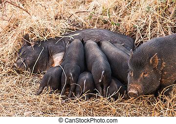 Wild boar piglets drink milk from her mother