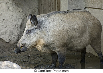Wild Boar Profile - Wild Boar or Sus scrofa animal in mud...