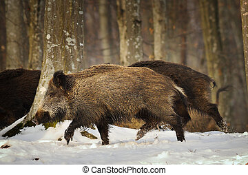 wild boar running in the forest