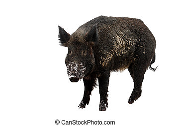 Wild Boar - Wild boar isolated on white background, with...