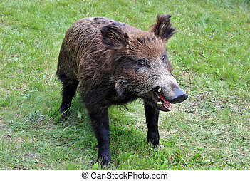 Wild boar - Scarecrow of the Siberian wild boar on a grass...