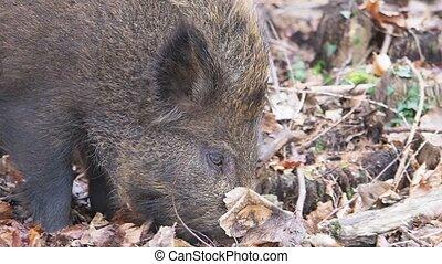 Wild boar, Sus scrofa, single animal, Forest of Dean,...
