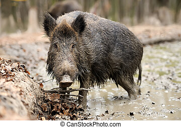 Wild boar - Wild young boar in autumn forest