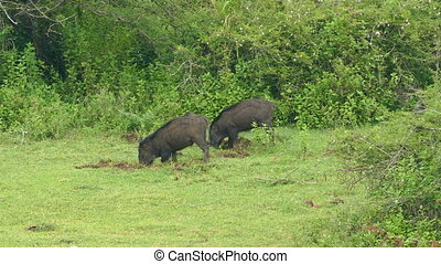 wild boars looking for food in the ground