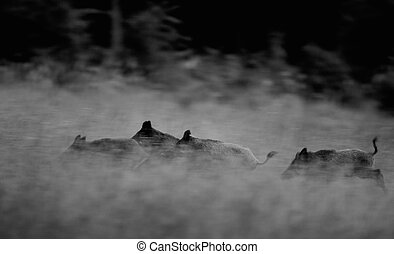 Wild boars running away - Group of wild boars running in...