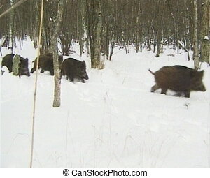 Wild boars walk snow