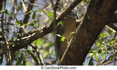 Wild Boat billed heron perched in tree quietly having a rest