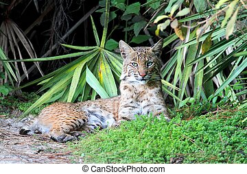 Wild Bobcat (Lynx rufus) relaxing in Florida