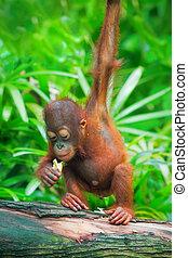 Wild Borneo Orangutan - Orangutan in the jungle of Borneo,...