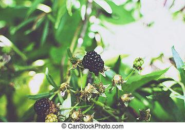 Wild bramble, blackberry grow in Sokolniki park, Moscow
