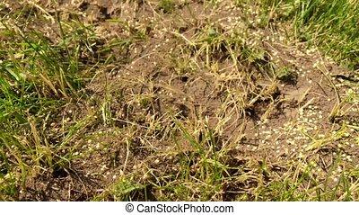 Wild brown ants
